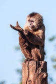 Capuchin — Stock Photo