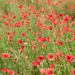 Field of wild poppy flowers. — Stock Photo #12068340