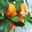 Stock Photo: Ripe tangerines on a tree branch.