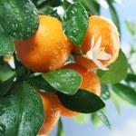 Ripe tangerines on a tree branch. — Stock Photo