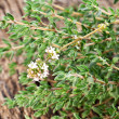 Thyme herb on wooden table. — Stock Photo