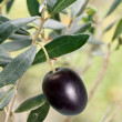 Black olive on the branch — Stock Photo