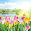Stock Photo: Tulips on a blur background.