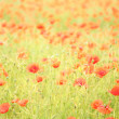 Field of wild poppy flowers. — Stock Photo #18973437