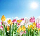 Tulips on a sky background. — Stock Photo
