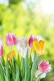 Tulipany na rozmycie tła. — Zdjęcie stockowe