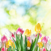 Tulipány na rozostření pozadí. — Stock fotografie