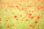 Field of wild poppy flowers. — Stock Photo