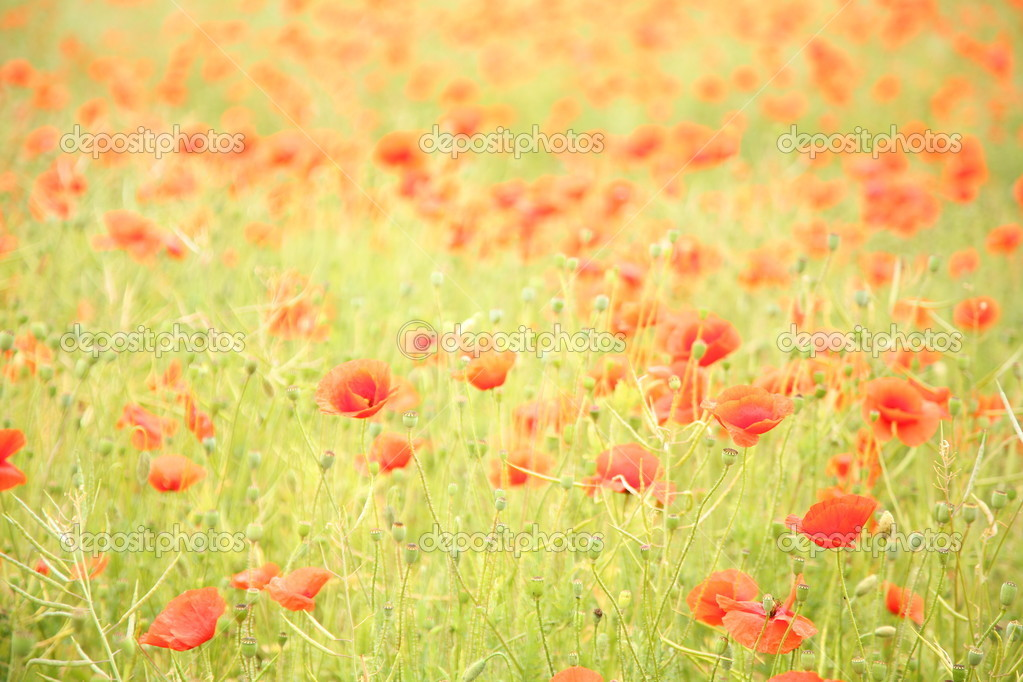 Field of wild poppy flowers.  — Lizenzfreies Foto #18973437