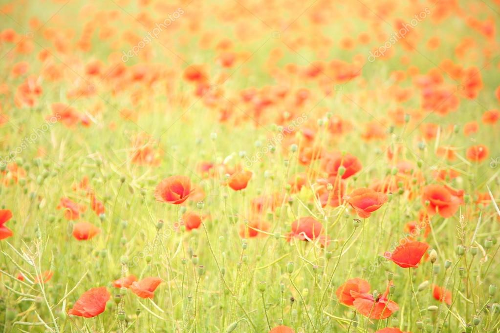 Field of wild poppy flowers.  — 图库照片 #18973437