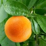 Oranges on a citrus tree. — Stock Photo #20399641