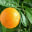 Orange on a citrus tree. — Stock Photo
