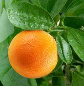 Naranjas en un árbol cítrico. — Foto de Stock
