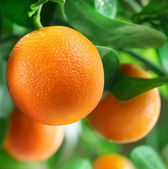 Sinaasappelen op een citrus tree. — Stockfoto
