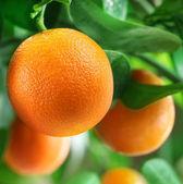 Pomeranče na citrusového stromu. — Stock fotografie