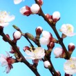 Process of blossoming apricot bud on a blue background. - Foto Stock