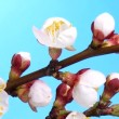 Process of blossoming apricot bud on a blue background. - Stock Photo