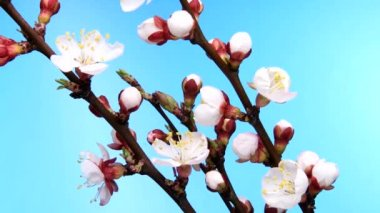 Process of blossoming apricot bud on a blue background. — Stock Video