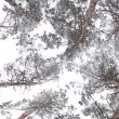 Circling tops winter pine forest. - Stock Photo