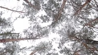 Circling tops winter pine forest. — Stock Video