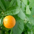 Stock Photo: Tangerine on a citrus tree.