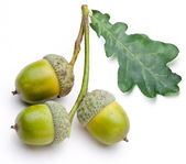 Acorn with leaf — Stock Photo