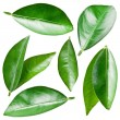 Stock Photo: Citrus leaves.