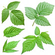 Raspberries leaves. — Stock Photo #27383495
