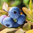 Blueberries on a shrub. — Stock Photo #31948571