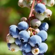 Blueberries on a shrub. — Stock Photo #31948675