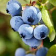Stock Photo: Blueberries on shrub.