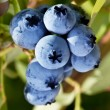 Blueberries on a shrub. — Stock Photo #31949275