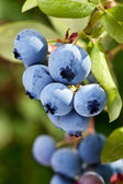 Blueberries on a shrub. — Photo