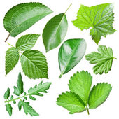 Green leaves collection. — Stock Photo