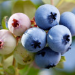 Blueberries on a shrub. — Stock Photo #32808551