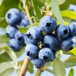 Blueberries on a shrub. — Stock Photo #32808575