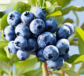 Blueberries on a shrub. — Stockfoto