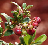 Cranberries on a shrub. — Stock fotografie