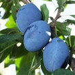 图库照片: Plums on a tree.