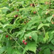Stock Photo: Raspberries on shrub.