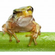 Little frog over rush — Stock Photo