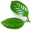 Green coffee leaves. — Stock Photo #37091783