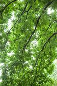 Oak tree branches. — Stock Photo