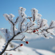 Frozen briar. — Stock Photo #42520143