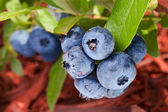 Blueberries on a shrub. — 图库照片