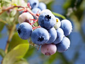 Blueberries on a shrub. — ストック写真