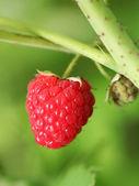 Red raspberry on the bush. Macro shot. — Photo