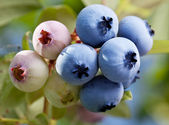 Blueberries on a shrub. — Foto de Stock