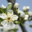 Blooming branch of fruit tree over blue sky background. — Stock Photo #47799675