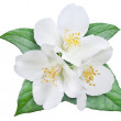 Blooming jasmine flower with leaves. File contains clipping path — Stock Photo #49561049